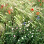 3296917-colorati-fiori-selvatici-nel-campo-di-grano-papavero-camomilla-blu-fiori-di-malva-archivio-fotografico