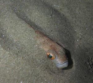 tracina Pesce ragno